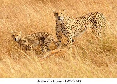 African Cheetahs (Acinonyx jubatus) on the Masai Mara National Reserve safari in southwestern Kenya.