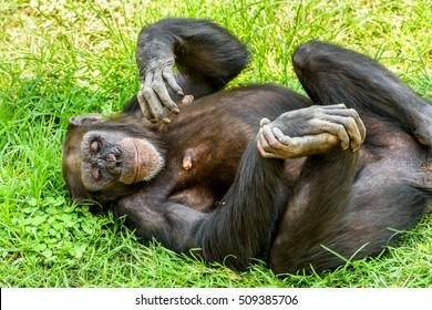African Chimpanzee On Green Grass