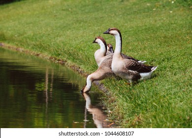 African Chinese geese standing in the park