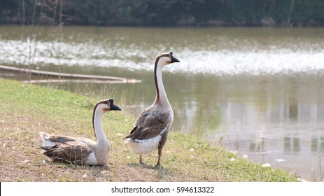 African Chinese Goose Stock Photo