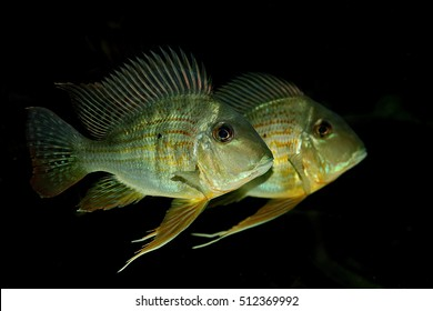 African Cichlids are one of the largest vertebrate families in the world. They are most diverse in Africa and South America.