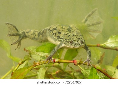 African clawed frog. These frogs are plentiful in ponds and rivers within the south-eastern portion of Sub-Saharan Africa. They are aquatic and are often greenish-grey in color.