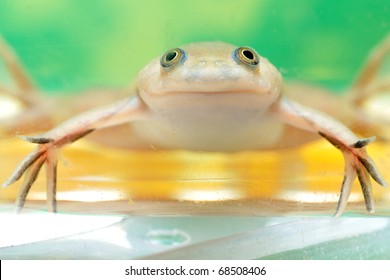 african clawed frog images stock photos vectors shutterstock rh shutterstock com African Dwarf Frog African Clawed Frog Tank