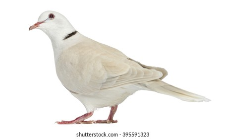 African Collared dove isolated on white