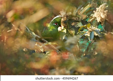 African colorful bird, Knysna Turaco,Tauraco corythaix perched on tree among colorful leaves. South Africa