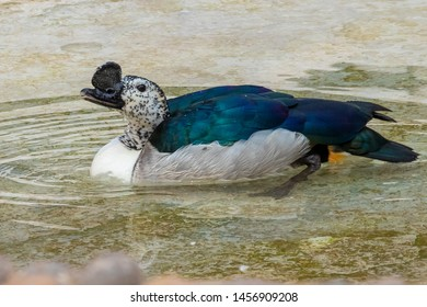 African comb or knob-billed duck swimming in water lake.