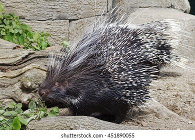 African Crested Porcupine feeding on leaves