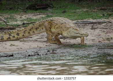 African crocodile at Seolus Park, Tanzania