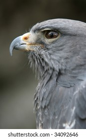African crowned eagle looking majestic