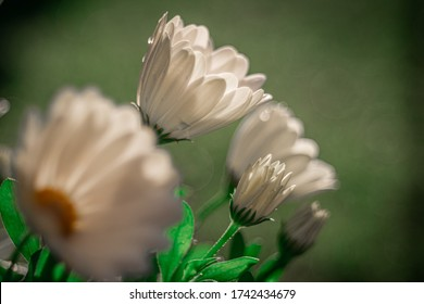 African daisy flowers in the garden on blurred background