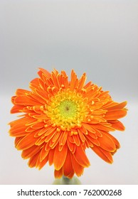 African Daisy  on a white background.