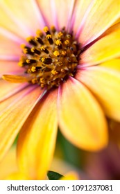 African daisy, Osteospermum, extreme macro flower head in vivid orange yellow purple colour. Vertical full frame opaque background with selective focus