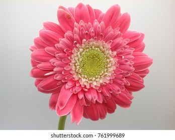 African Daisy in the vase on a white background.