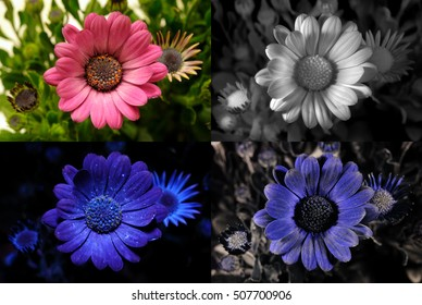 African daisy in visible light, infrared, UV fluorescence, and reflected UV.