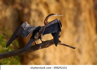 African Darter, Anhinga rufa, fish eating water bird of sub-Saharan Africa with long neck and bill, female with outstretched wings, perched on dead trunk against brown, steep river bank in background.