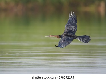 African Darter, Anhinga rufa, fish eating water bird of sub-Saharan Africa with long neck and bill, female, flying low over the water.