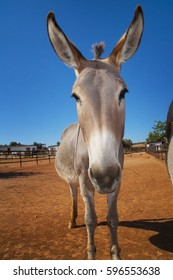 African donkey in rustic yard