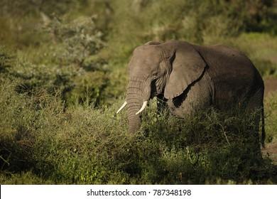 An african elepant walking in the bush.