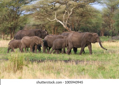 african elephans in african savannah landscape