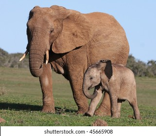 African Elephant Baby and Mother walking on green grass