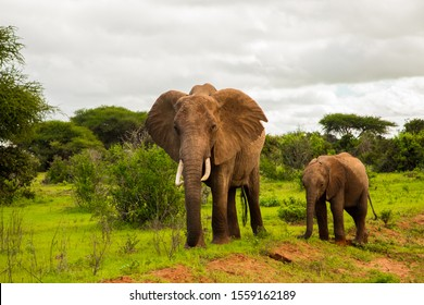 African elephant with elephant baby in the wild in the savannah in africa.