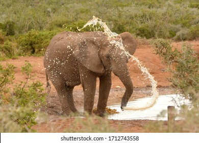African elephant bull blowing and spraying water with his trunk standing at the water hole in a game park in South Africa.