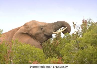 African elephant bull head portrait grazing