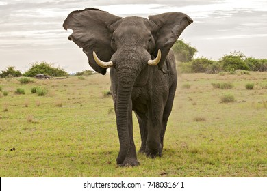 African Elephant in the Bush and the Savannah