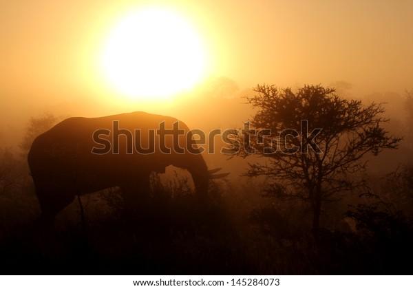 African elephant in bush at sunrise, Kruger National Park, South Africa
