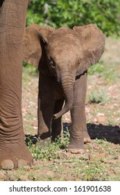 An African elephant calf looking at the camera and standing next to its mother's leg