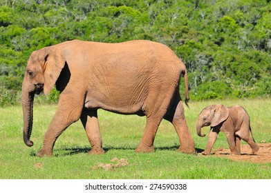 African Elephant and calf walking together