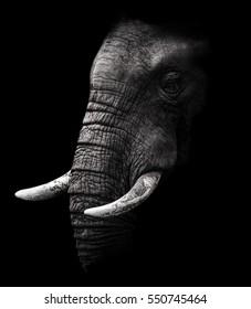 African Elephant close up Portrait
