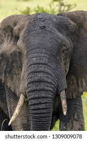 African Elephant Closeup on Serengeti Safari