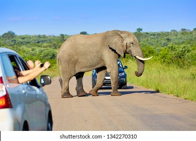 African elephant crossing the road between cars