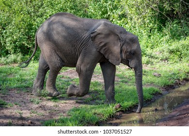 African elephant drinking with trunk from puddle