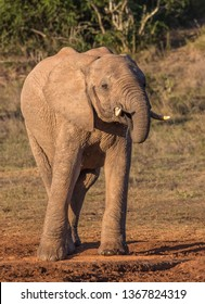 African Elephant drinking water in the late afternoon sun