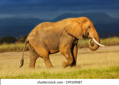 African Elephant eating grass just before the rain in Amboseli National Park, Kenya