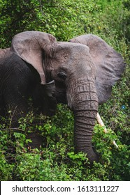 African elephant emerging out of jungle surrounded by tree and bushes in the natural environment