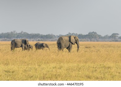African elephant family in natural Botswana, South Africa ,Kenya
