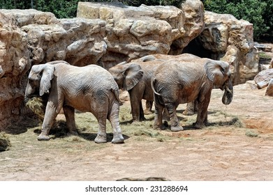 African elephant family in natural environment standing under the waterfall. Bio Park in Valencia, Spain.