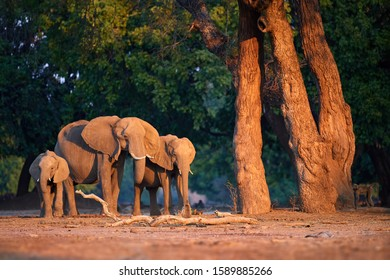 African elephant family on the bank of Zambezi, lit by orange light of setting sun against dark green forest. Wildlife scene from Mana Pools national park.  Low angle photo, animals of Zimbabwe.