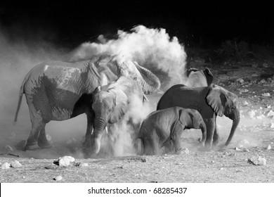 African Elephant family taking a dust bath