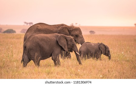 African Elephant Family with young baby Elephant in the savannah of Serengeti at sunset. Acacia trees on the plains in Serengeti National Park, Tanzania. Wildlife Safari trip in  Africa.
