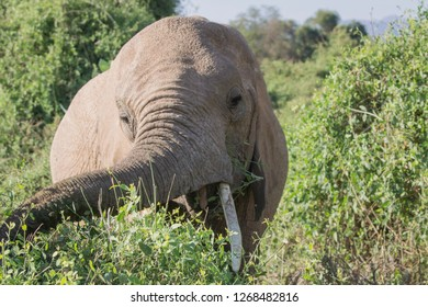 An african elephant feeding of trees in Samburu national park in Africa. Wildlife, travel, moment, closeup, photgraphy concept.