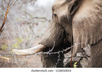 African elephant feeds from a few green shoots in the dry bush of Kruger National Park, South Africa.