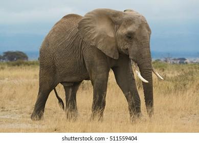 African elephant, female, dry season, Masai Mara, Kenya