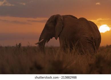 African elephant, female, in long grass of Masai Mara, Kenya