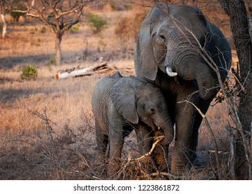 African Elephant female/ mother and calf walking together in the bush