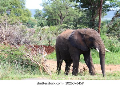 African elephant grazing in the bush in South Africa