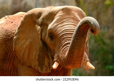 African elephant head and nose